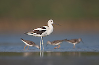American Avocet (Recurvirostra americana) with Lesser Yellowlegs nearby, East Pond, Jamaica Bay Wildlife Refuge