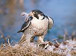 Peregrine falcon dismembers its kill, a mallard duck, Malheur National Wildlife Refuge, Oregon, USA