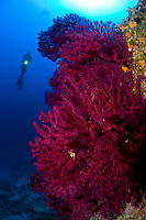 scuba diver with red gorgonia, Paramuricea clavata, 'Le Formiche' dive-site, Ponza Island, Italy, Tyrrhenian Sea, Mediterranean