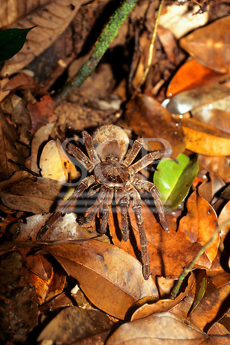 Ariau, Brazil. Tarantula spider amongst leaf litter. Amazon rainforest, Rio Negro.