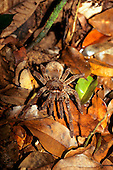 Ariau, Brazil. Tarantula spider amongst leaf litter. Amazon rainforest, Rio Negro.