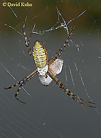 1022-06yy  Banded Argiope - Argiope trifasciata - © David Kuhn/Dwight Kuhn Photography