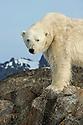 Polar bear stands on the shore of a bird island in Smeerenburgfjorden, Spitsbergen, Svalbard.