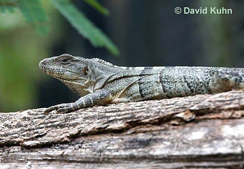 0626-1101  Black Spiny-tailed Iguana (Black Iguana, Black Ctenosaur), On Half-moon Caye in Belize, Ctenosaura similis  © David Kuhn/Dwight Kuhn Photography