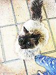 Siamese Cat begging in Ravello, Italy