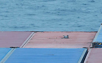 A Garganey in the Bering Sea not far from Attu