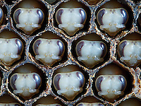 Honeybees nymphs in cells