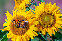 Viceroy butterfly (Limenitis archippus) on sunflower. Summer, North America.
