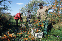 GERMANY, sea backthorn cultivation at organic farm Storchennest near Ludwigslust, the berries are rich in vitamine C / DEUTSCHLAND, Sanddorn Anbau und Ernte bei Storchennest in Ludwigslust, copyright (c) Joerg Boethling