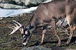 whitetail deer buck, full side image grazing head down late Winter
