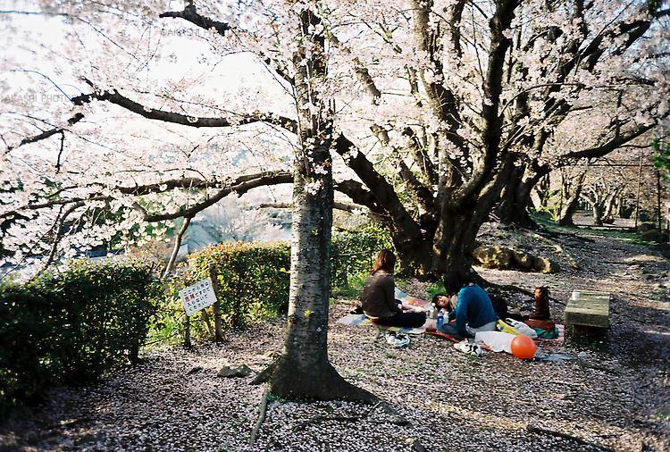 Japanese mothers and children enjoy Hanami, Cherry Blossom party, in Himeji Castle, Japan.<br /> <br /> Des mères et des enfants japonais apprécient le Hanami, fête de cerisiers en fleurs, au château de Himeji, au Japon.