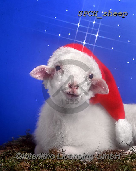Xavier, CHRISTMAS ANIMALS, WEIHNACHTEN TIERE, NAVIDAD ANIMALES, photos+++++,SPCHSHEEP,#xa#,sheep