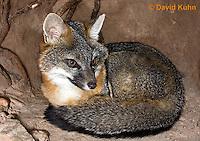 1118-0803  Gray Fox in Desert Underground Resting in Den, Urocyon cinereoargenteus © David Kuhn/Dwight Kuhn Photography