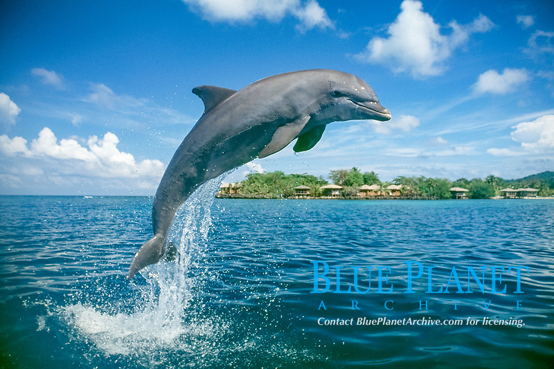 common bottlenose dolphin, Tursiops truncatus, jumping, Honduras, Caribbean Sea, Atlantic Ocean
