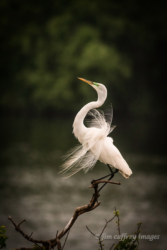A great egret performing a mating display at Smith Oaks Rookery in High Island, Texas