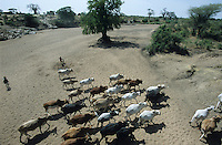 TANZANIA, cattle herd in dry river bed in Meatu district / TANSANIA Meatu, Rinderherde an Wasserstelle in trocknem Flussbett