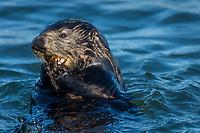 Southern Sea Otter (Enhydra lutris nereis) feeding on some type of marine invertebrate.  Monterey Bay, CA.