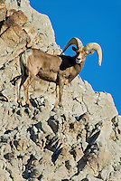 Desert Bighorn Sheep ram (Ovis canadensis nelsoni)