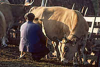 Europe/France/Auvergne/12/Aveyron : Aubrac - Traite des vaches aubrac au buron de canut - Fourme de Laguiole AOC [Non destiné à un usage publicitaire - Not intended for an advertising use] [Non destiné à un usage publicitaire - Not intended for an advertising use]  (Photo d'Archive: 1990)