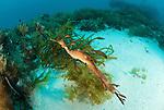 Weedy seadragon (phyllopteryx taeniolatus).Albany, Western Australia