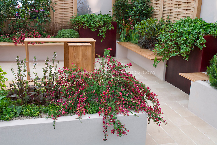 Urban City backyard garden in modern clean sophisticated style: Scotch Broom Cytisus 'Boskoop Ruby' in raised bed on patio with low garden wall, upscale home, garden furniture and benches