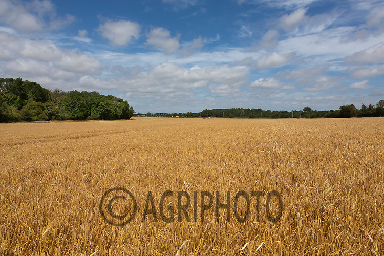Barley in Lincolnshire<br /> ©Tim Scrivener Photographer 07850 303986<br />      ....Covering Agriculture In The UK....