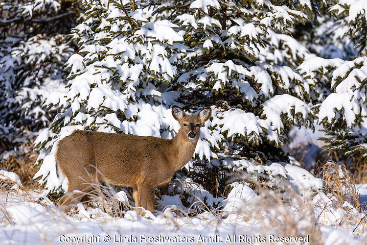 White-tailed doe standing in front of some snow-covered spruce trees.
