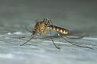 Gemeine Stechmücke, Nördliche Hausmücke, Culex pipiens, common house mosquito, common gnat, house gnat, Le Moustique commun, Maringouin domestique, Stechmücken, Culicidae