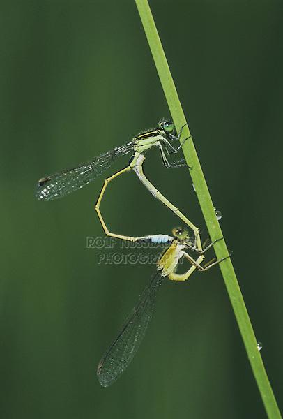 Rambur's Forktail (Ischnura ramburii), pair mating, Sinton, Coastel Bend, Texas, USA