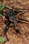 Tataquara, Brazil. Beetle.