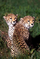 .Cheetahs, Serengeti National Park