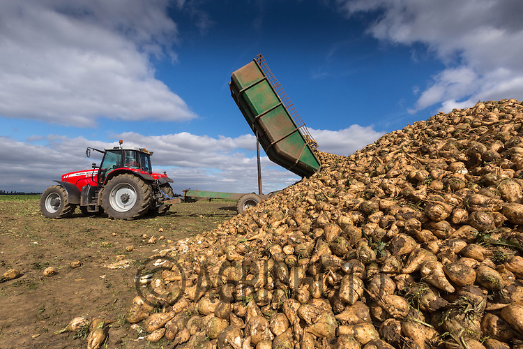 Sugar Beet lifting in Lincolnshire at the start of the 2013 campaign<br /> Picture Tim Scrivener 07850 303986
