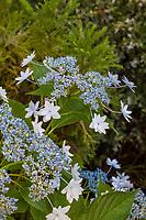 Hydrangea macrophylla 'Izu-no-hana' - Bigleaf Lacecap hydrangea flowering in Yanker-Hansen garden