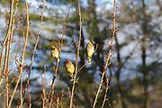 Cedar Waxwing (Bombycilla cedrorum) in tree in Plymouth, New Hampshire USA.
