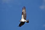 Close-up of osprey in flight