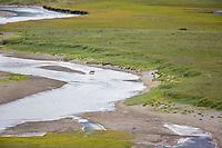 Gray wolf crosses a glacial river, Katmai National Park, Alaska Peninsula, southwest Alaska.