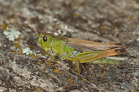 Sibirische Keulenschrecke, Weibchen, Gomphocerus sibiricus, Aeropus sibiricus, club-legged grasshopper, Sibirian grasshopper