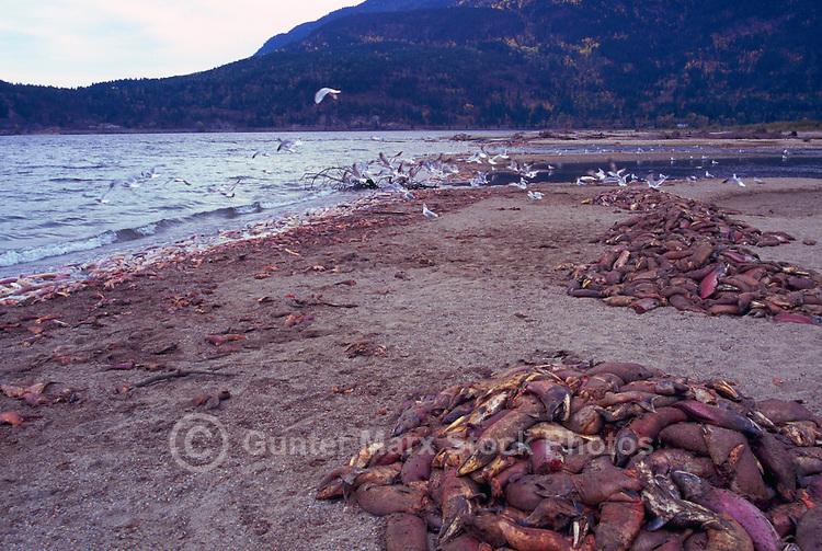 Annual Adams River Sockeye Salmon Run (Oncorhynchus nerka), Roderick Haig-Brown Provincial Park near Salmon Arm, BC, British Columbia, Canada - Dead Fish rotting along Shore of Shuswap Lake