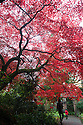 30/10/16<br /> <br /> An acer palmatum 'rubrum' turns a vibrant blood-red colour just in time for Halloween. This is just one of many stunning trees that are putting on a spectacular autumn display in the Chinese Garden at Biddulph Grange near Stoke on Trent, Staffordshire. Gardeners at the National Trust property are saying the frost-free autumn may have helped to make this one of the most colourful seasons in many years.<br /> <br /> <br /> All Rights Reserved F Stop Press Ltd. +44 (0)1773 550665