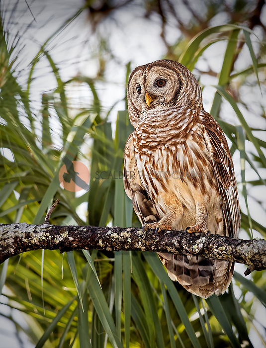 Barred Owl perched in tree on branch