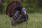 Tom turkey strutting in a northern Wisconsin field.