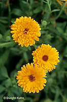 HA22-146x  Calendula - Orange King variety - Calendula officinalis