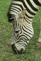 Greveys Zebra, Equus Grevyi, grazing on new grass in Kenya in profile