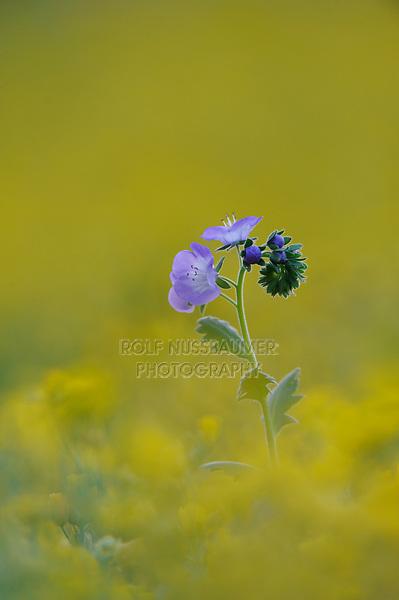 Blue Phacelia (Phacelia patuliflora), Palmetto State Park, Texas, USA