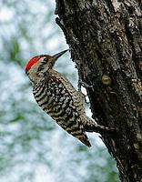 Ladder-backed woodpecker adult male on tree trunk