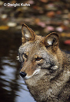 MA27-089z  Eastern Coyote - Canis latrans