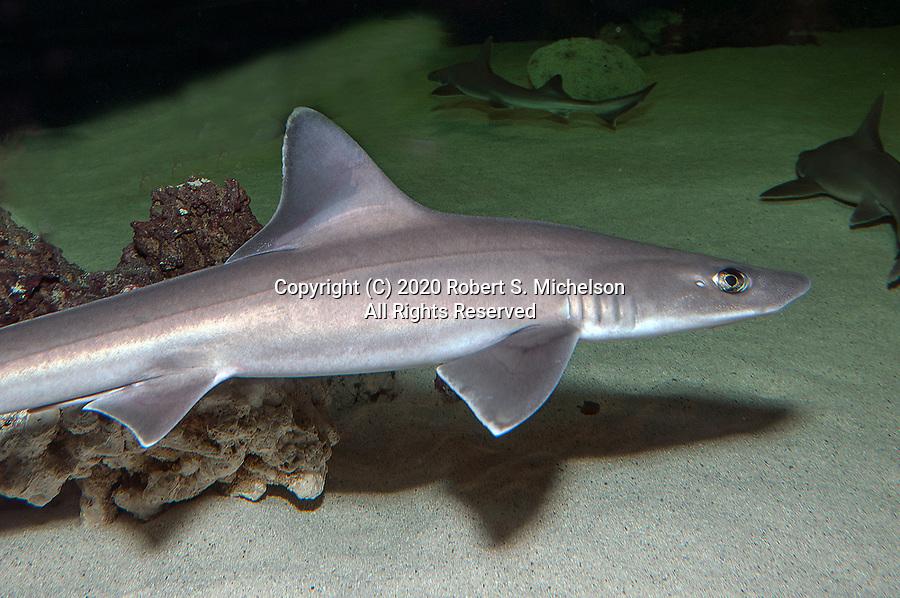 Smooth dogfish swimming right, medium shot