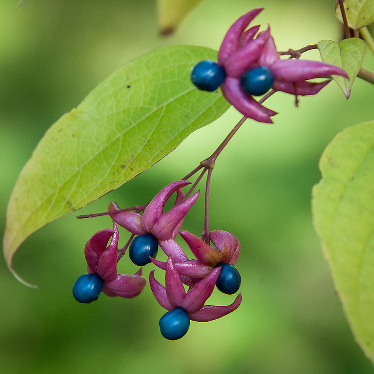 Farges harlequin glorybower (Clerodendrum trichotomum var. fargesii), late October.