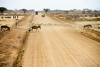 KENYA, Marsabit, sand road, Samburu pastoral tribe withdonkey and  goat herd crossing the road / KENIA, Marsabit, Samburu tribe, Esel und Ziegenherde zieht morgens zum Grasen und traenken