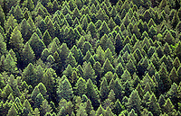 Pine tree forest west of Palmer Lake, Colorado.  June 2014. 85475